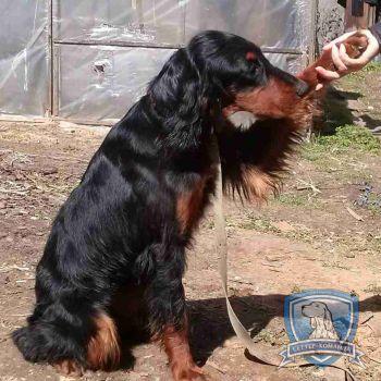 Найден шотландский сеттер в Витебске