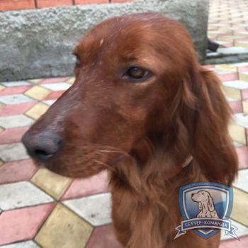 Найден ирландский сеттер в Таганроге