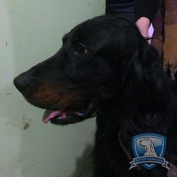 Найден шотландский сеттер в Ростове-на-Дону